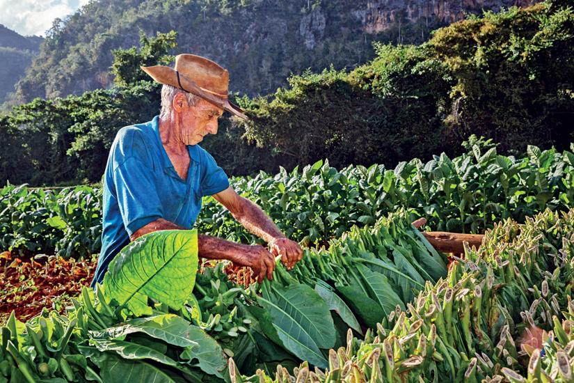 image Cuba vinales tabac recolteur paysan 77 as_101934264