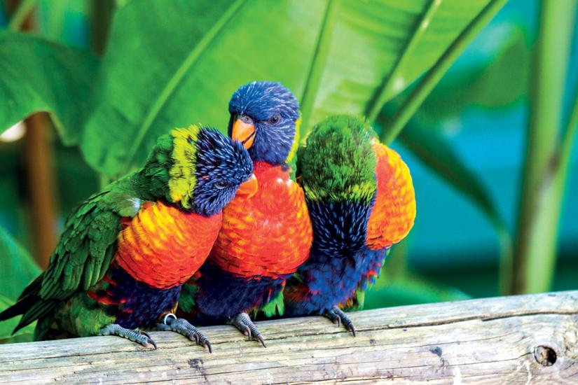image Ile caraibe guadeloupe perroquets multicolores loris swanson 39 fo_32130148