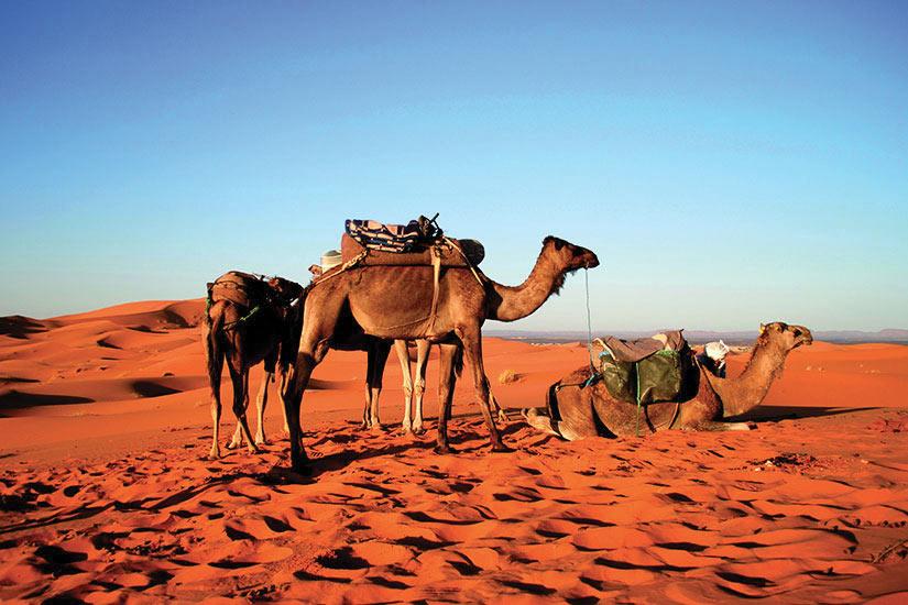 image Maroc Chameaux dans desert Sahara  it