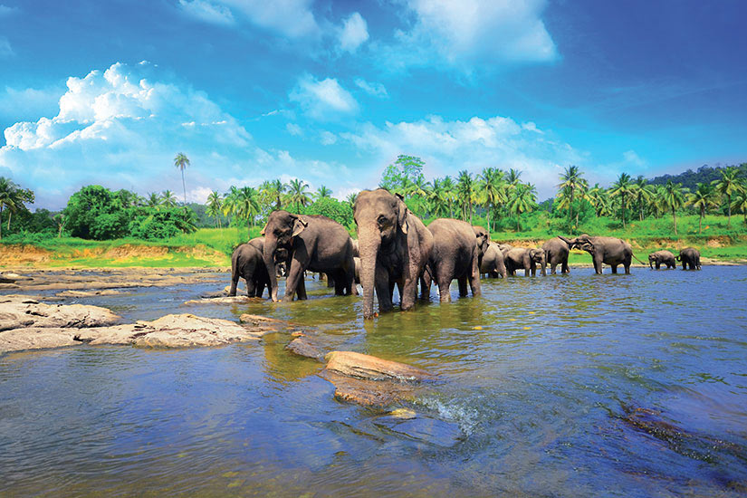 image Sri Lanka Pinnawela groupe delephants dans le riviere  fo