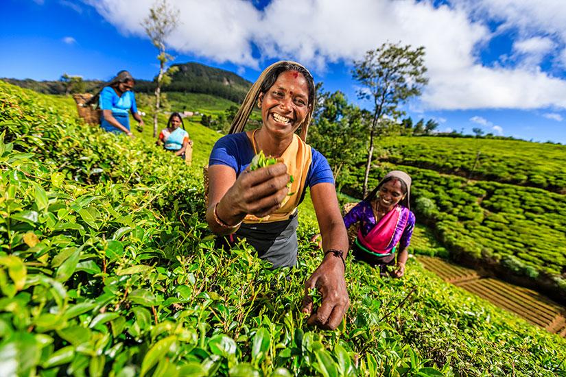 image Sri Lanka femmes ramassent feuilles the Ceylan  it