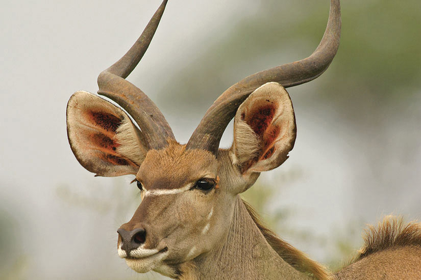 image Tanzanie Grand Koudou antilope  it